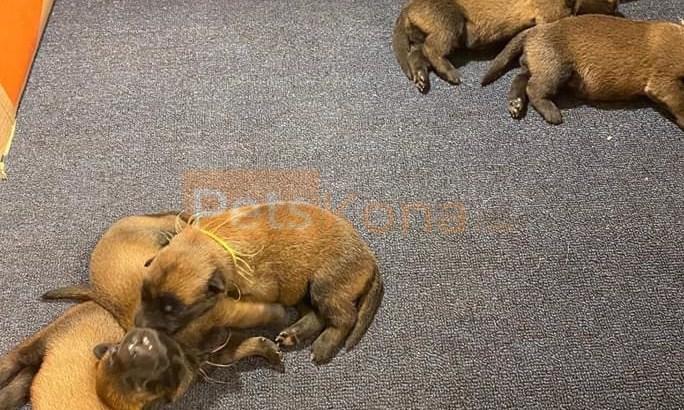 9 Belgian Malinois puppies