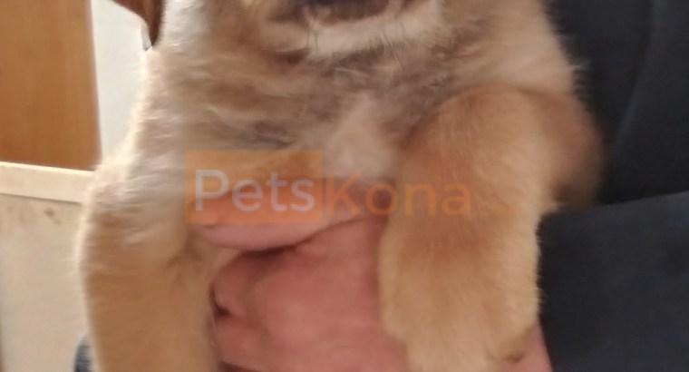 American Rotweiller/ Brazilion Bull Mastiff Puppies