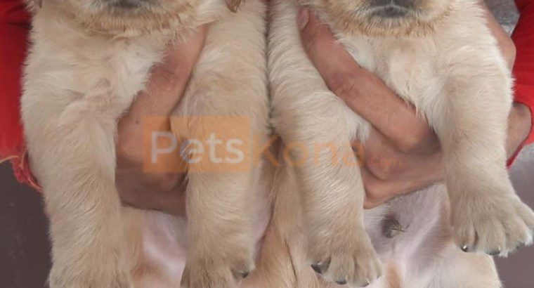 Beautiful Golden Retriever puppy for sale in Gurgaon