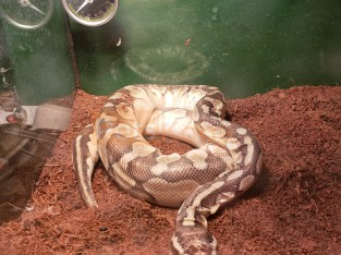 Ghost Ball Python and a Golden Pastel Ball Python