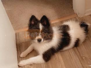 Pomeranian, American Eskimo