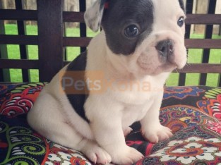 Beautiful French Bulldog Puppies Available contact @(469) 607-6609