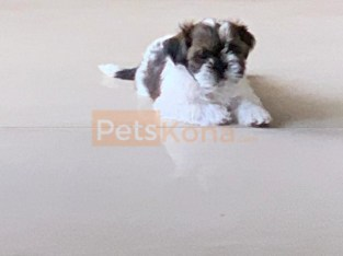 3 Month old Shih Tzu male puppy for sale
