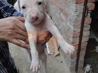 American Pitbull terrier 2 female pups