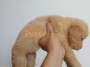 Wanted to sell golden retriever