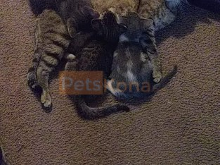 6 Kittens for sale