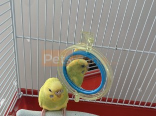 Parakeet/Budgie for Sale- comes with cage and toys