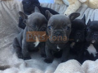 French bulldog puppies for new homes