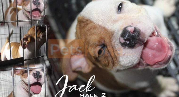 English Bulldog ( for rehoming)