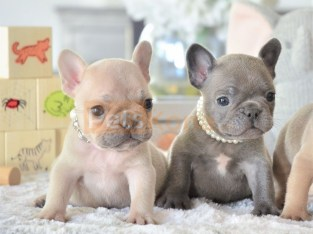 french bulldog puppys for sale