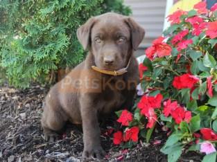 Registered English Labrador Retriever puppies for sale