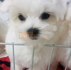 Full Blooded Maltese puppies for Re-homing.