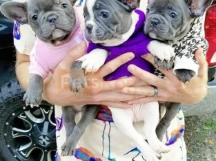 French bulldog puppies for sale 650