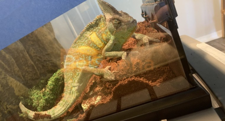Female Veiled Chameleon w/ cage