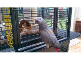 chucky and healthy African gray parrot for sale
