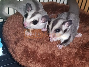 Sugar gliders for rehome