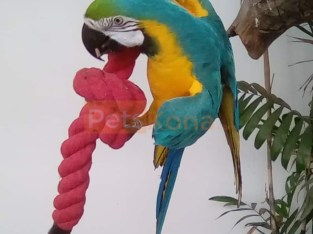 Magnificent Hyacinth macaw and Blue and Gold parrots for sale