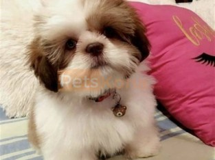 Gorgeous Teacup Shih Tzu Puppies For Sale