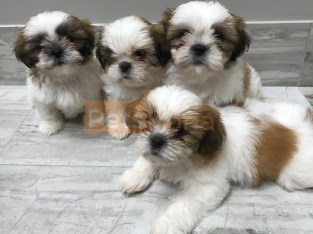 Beautiful Tiny shih tzu Puppies