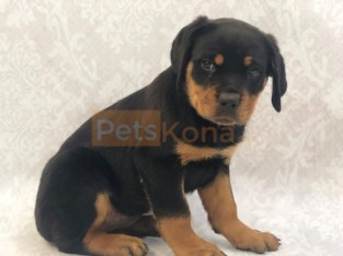 Beautiful Rottweiler Puppies