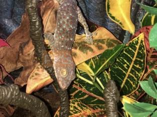 Female Tokay gecko