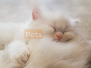 Adorable White Doll Face Persian Kitten