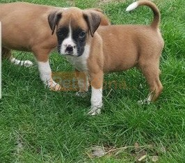 Healthy boxer puppies for Re-homing!