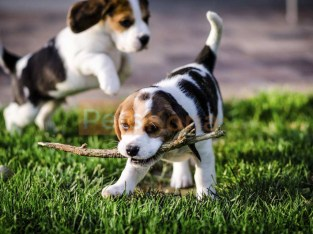 Healthy beagle Puppies