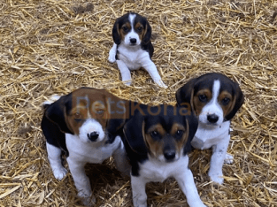Beagle Litter of Puppies For Sale