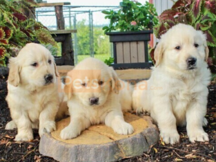 English Cream Golden Retriever Puppy to a good home