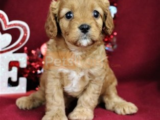 Quality Golden cavapoo puppies for sale