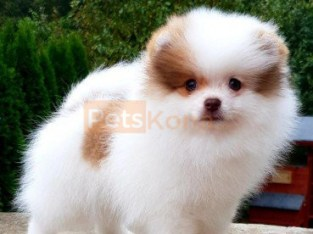 Quality pomeranian Puppies For Re-homing