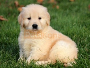 Quality Golden retreiver r puppies for sale