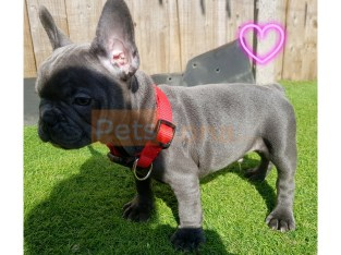 French bulldog puppies for sale cute for home
