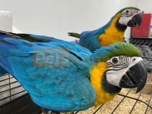 Hand Reared Baby Blue And Gold!!