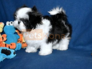 Quality shih tzu puppies for sale