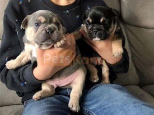 French bulldog puppies for sale 650 tt