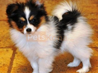 cute Papillion Puppy