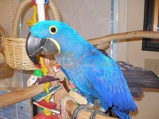 Hand raised hyacinth macaw parrots