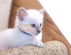 We Have Beautiful Balinese kittens