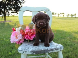 Home Trained Labrador Retriever Puppies
