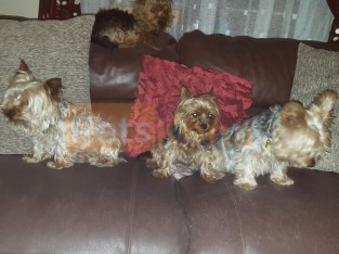 Yorkshire Terrier Puppies Available Here Now For Sell