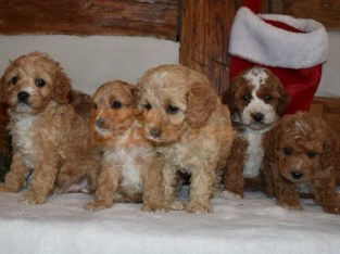 !!!!Excellent Litter of Cavapoo puppies Available now.!!!!!!!!!
