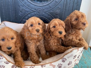 @@@@Excellent Litter of Cavapoo puppies Available now.@@@@@