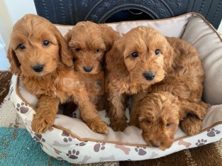 $$$$$$ Excellent Litter of Cavapoo puppies Available now. #######