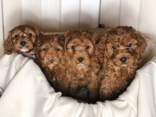 Beautiful F1 Cockapoo Puppies with great temparement.