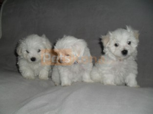 Amazing Litter of Maltese puppies Available .