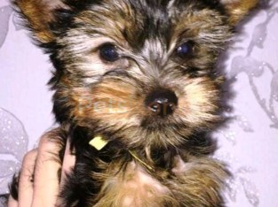 Yorkie Available for rehoming