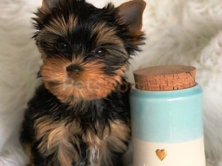 Reay to go Yorkie Puppies