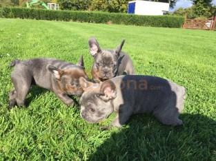 Quality Blue French Bulldog Puppies